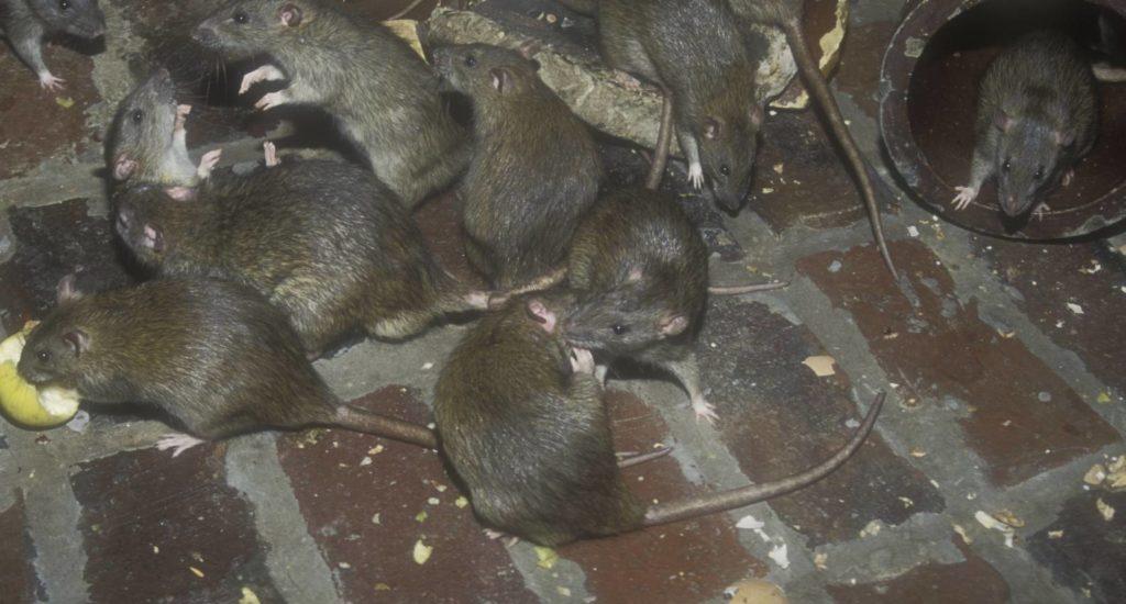 уничтожение крыс в Минеральных Водах